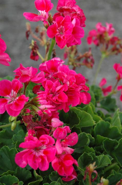 survivor hot pink geranium pelargonium survivor hot pink