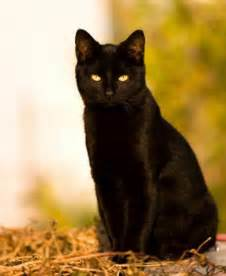 black cats black cat random photo 32500118 fanpop