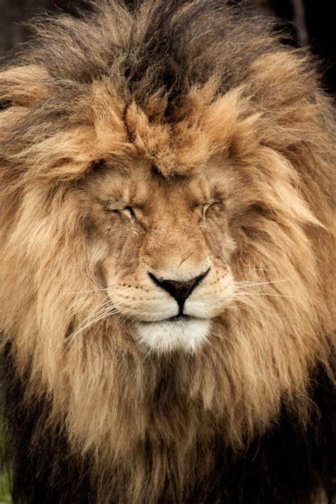 lion leo images  pinterest big cats animal