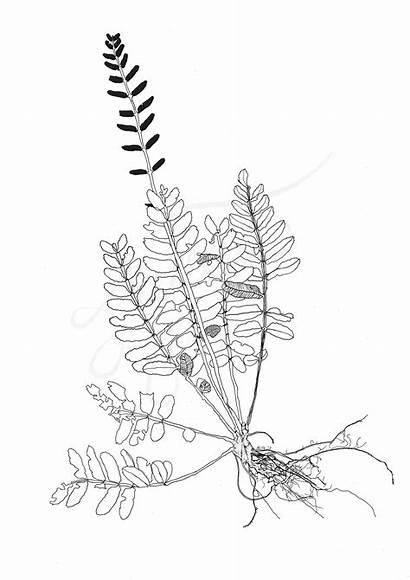 Fern Botanical Drawing Getdrawings