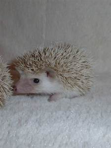 Baby African Pygmy hedgehogs | Canvey Island, Essex ...