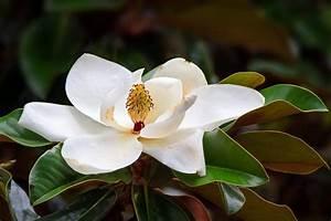 Magnolia Tree Types, Planting & Care | Garden Design