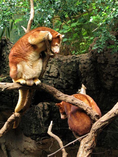 Matschie's tree kangaroo Wikipedia