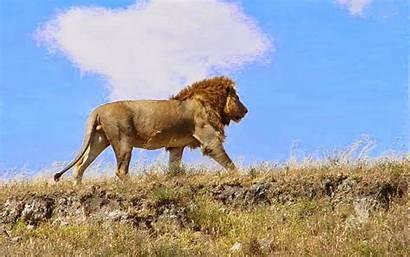 Lion African Desktop Wallpapers Walking Backgrounds Sunrise