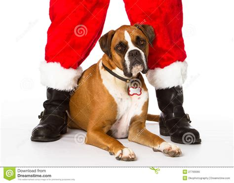 Boxer Dog With Santa Stock Photo. Image Of Christmas