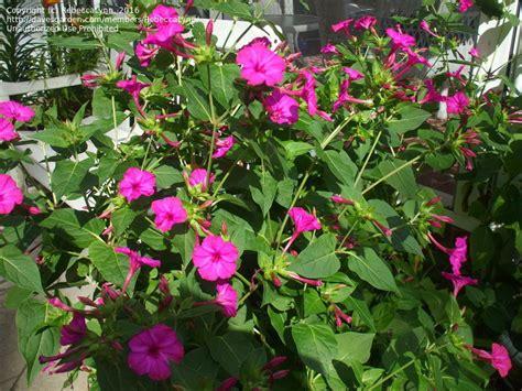plantfiles pictures  oclock marvel  peru