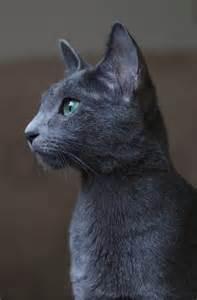 Beautiful Russian Blue Cat