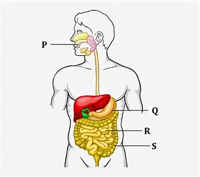 Digestive System Process Shows Class Nicepng Transparent