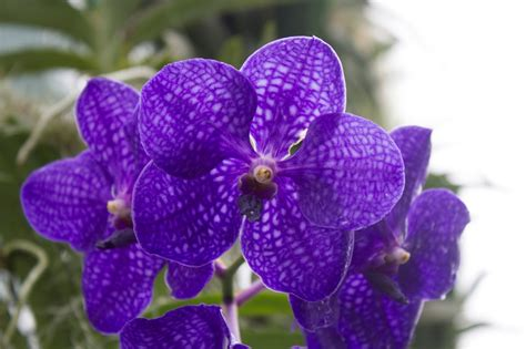 one orchid maria s orchids a classic blue orchid vanda pachara delight