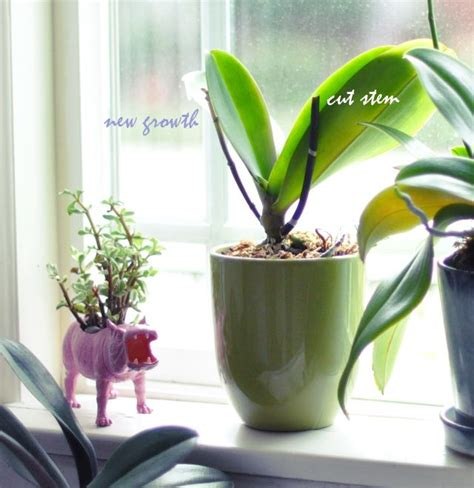 what to do after orchid blooms how to keep orchids alive after they bloom for the home pinterest toys orchids and love