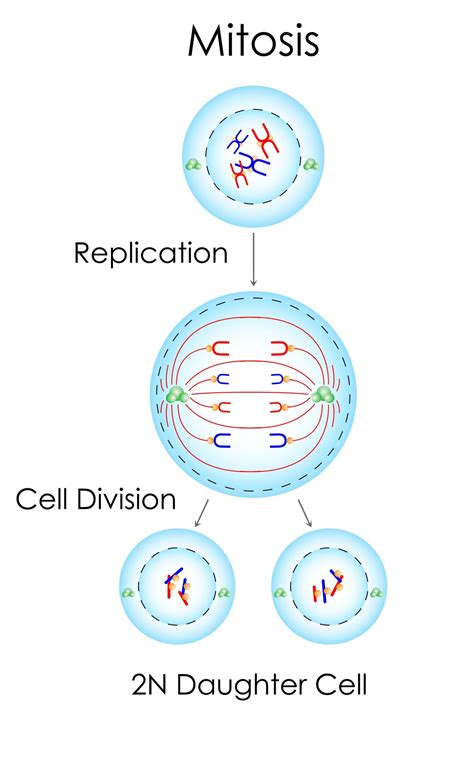 types  cell division