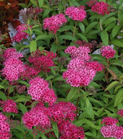 Spiraea japonica 'Anthony Waterer' - Japānas spireja
