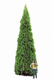 Thuja Smaragd Düngen : thuja green giants the facts and more fast growing ~ Michelbontemps.com Haus und Dekorationen