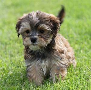 Morkie puppy... adorable   Awwwwww   Pinterest
