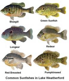 Pumpkin Seed Sunfish Aquarium by What Am I Doing Wrong Bluegill Sunfish Texas Fishing