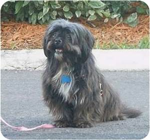 Havanese Yorkshire Terrier Mix Dog