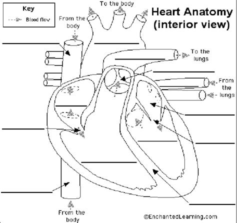 Mrslavich's Science Class Life Science Heart Diagram Worksheet