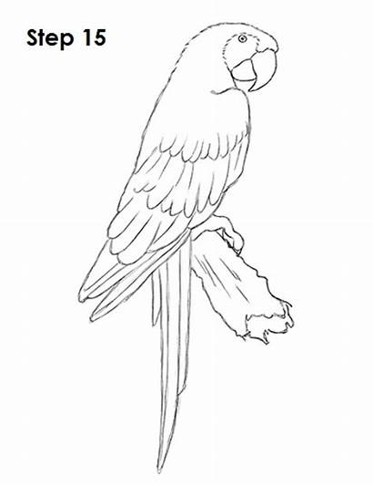Macaw Scarlet Draw Drawing Bird Parrot Drawings