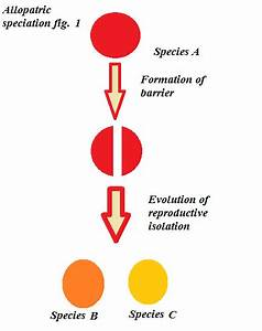 Evolution - Which Of These Versions Of Allopatric Speciation Is Correct