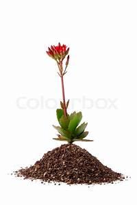 Kleine Fliegen In Der Erde : kleine rote blume w chst aus der erde auf einem wei en hintergrund stockfoto colourbox ~ Frokenaadalensverden.com Haus und Dekorationen