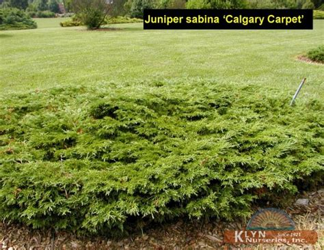 juniperus sabina calgary carpet klyn nurseries