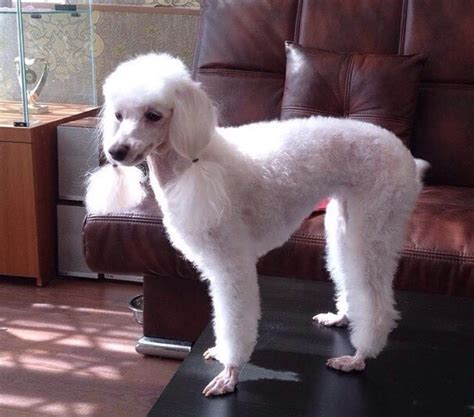 poodle haircuts  dog lovers page     paws