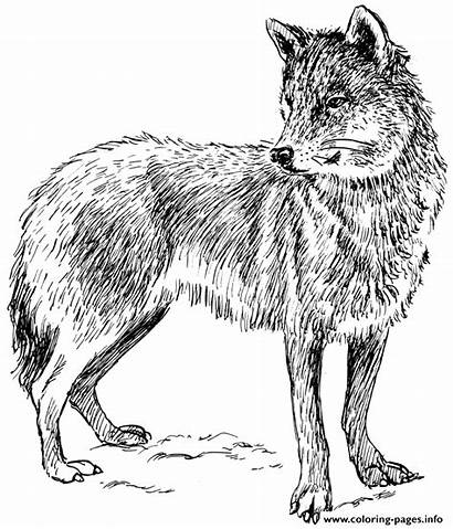 Wolf Coloring Pages Adult Printable Wolves Prints