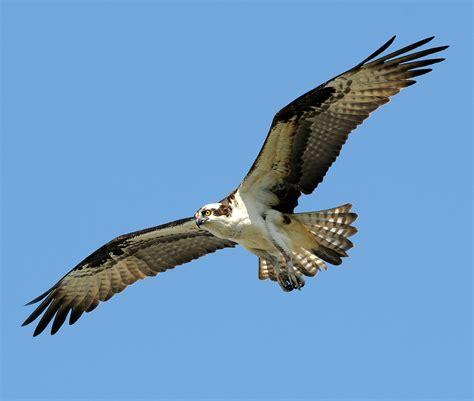 Images Of Osprey File Pandion Haliaetus Hook New Jersey Usa