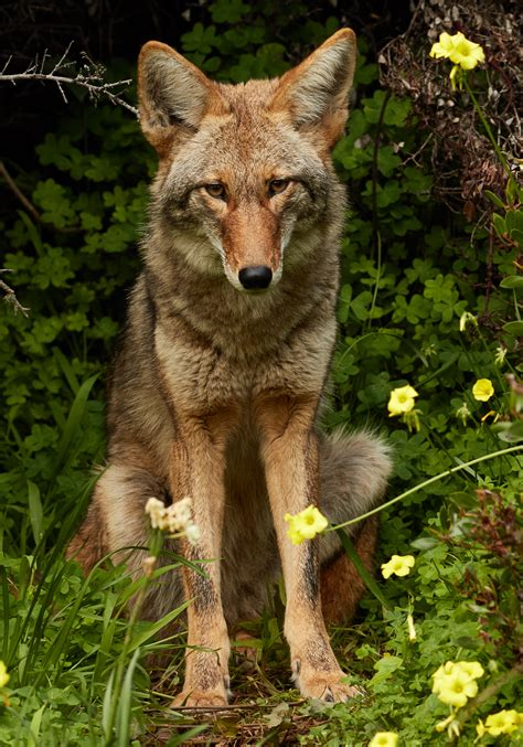 Images Of A Coyote File Coyote Bernal Heights Jpg Wikimedia Commons