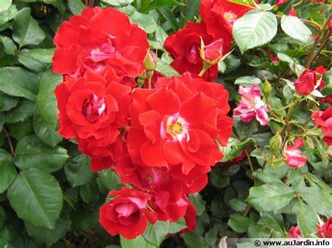 cuisiner du cultiver un rosier en pot