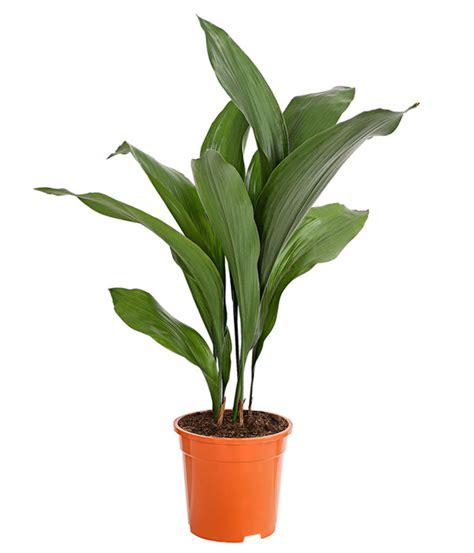 Schusterpalme Als Zimmerpflanze by Schusterpalme Dehner