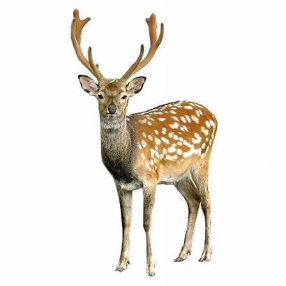 Deer Freepngimg