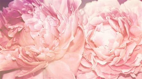 fresh petals peonies wallpaper desktop wallpapersafari