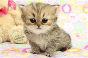 tea cup cats kittens for