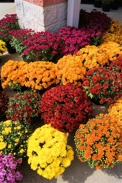 Chrysanthemum Fertilizer - How And When To Fertilize Mums