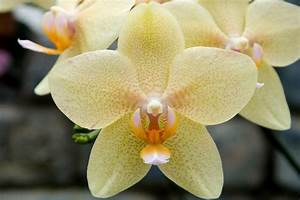 Useful Tips For Care And Maintenance Of Phalaenopsis