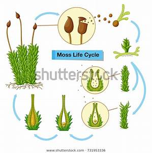 Diagram Showing Moss Life Cycle Illustration Stock Vector