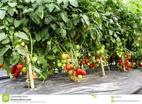 cultivation of tomatoes tomato cultivation stock image image of healthy asia 67823757