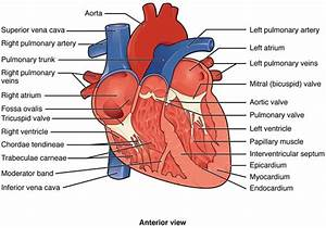 Which Parts Of The Heart Pump Blood Into The Ventricles