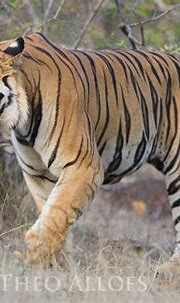 Dominant male Bengal tiger walking in open forest | Theo ...