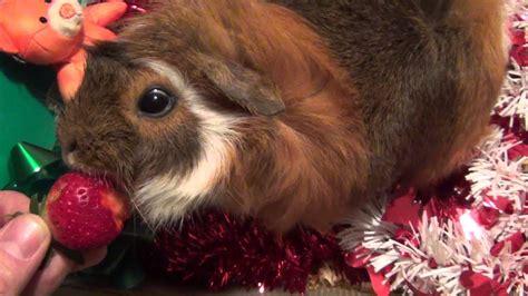 cute guinea pig eating strawberry youtube