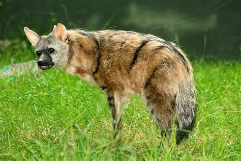 aardwolfs animals amazing facts latest pictures