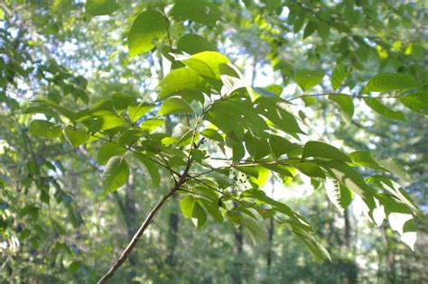 what does poison sumac look like poison sumac rash symptoms causes treatment and diagnosis findatopdoc