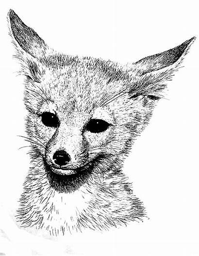 Fox Coloring Pages Desert Realistic Printable Adults
