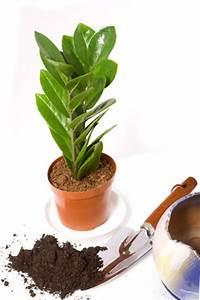 Bewässerungssystem Für Zimmerpflanzen : zamioculcas zamiifolia zamie pflege umtopfen und vermehren ~ Markanthonyermac.com Haus und Dekorationen