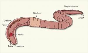 Simple Earthworm Diagram Labeled