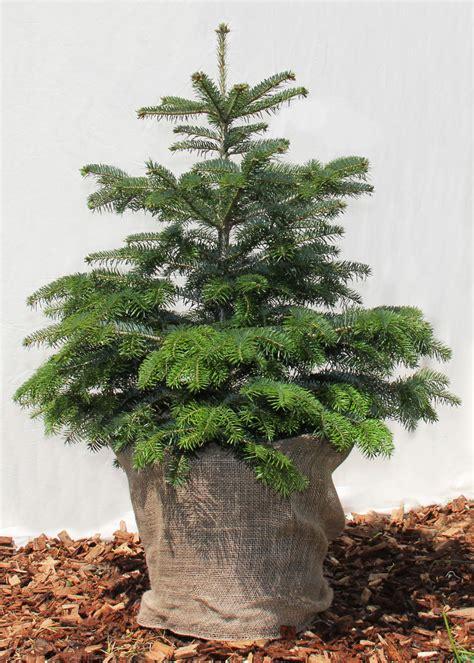 christbaum im topf mieten baumfreunde
