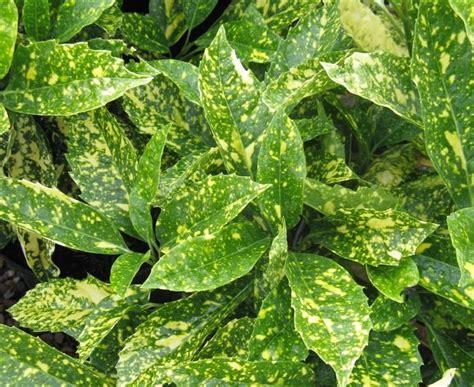 images of shrubs plants shrubs dw frost