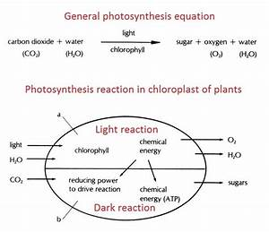 Knowledge  Mechanism Of Photosynthesis
