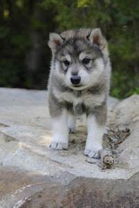 1000+ images about tamaskan wolfdog on Pinterest ...